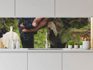 Man harvesting black grapes in the vineyard