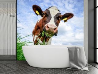 Rindvieh -rotbunte Kuh schaut kauend unter sich ins Gras
