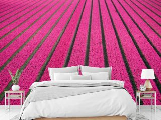 Tulip flower fields near the village of Petten in North Holland province in the Netherlands