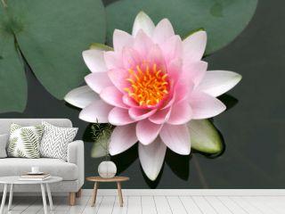 Seerose, Lotus