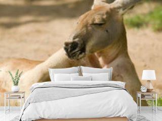 Lazy kangaroo with almost human posture