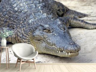 waiting crocodile
