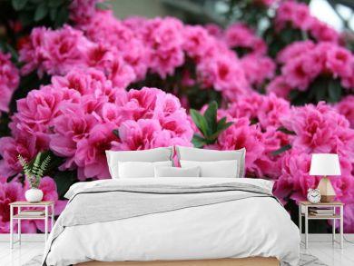 azalea rhododendron