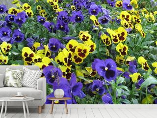 yellow and violet pansies