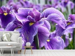 Purple Flag Iris