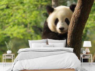 Cute young panda sitting on a tree en face