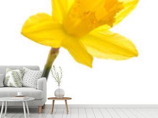 Daffodil Head