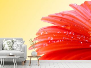Red gerbera with water drops