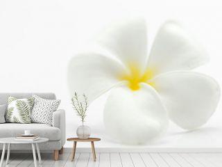 Blüte einer Frangipani - Plumeria obtusa