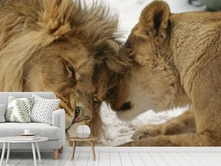 Love's Secret.  Lion and lionness  (Panthera leo)