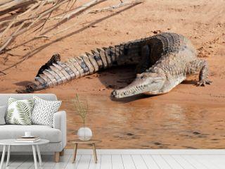 Freshwater crocodile, Australia