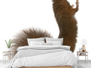 Eurasian red squirrel on hind legs, Sciurus vulgaris