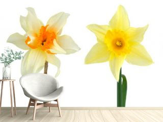 Various head narcissus