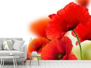 poppies white background, red flowers, frame