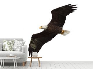 spread wing bald eagle soars across the sky