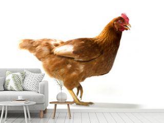 Red sex link chicken