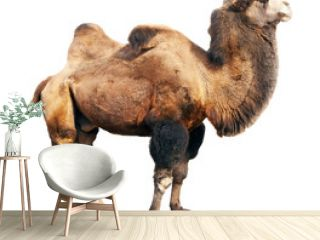 bactrian camel  over white background
