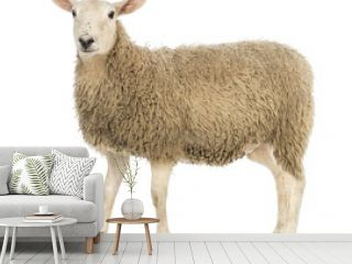Side view of a Sheep looking at camera