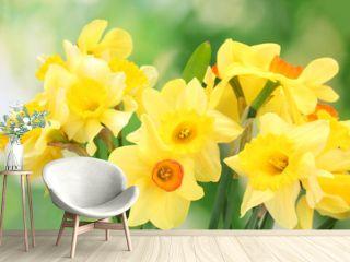 beautiful yellow daffodils  on green background