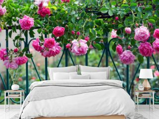 pink climbing rose on blue forged fence in summer garden