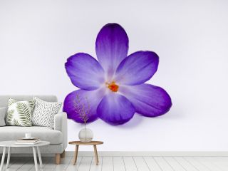 a purple crocus flower