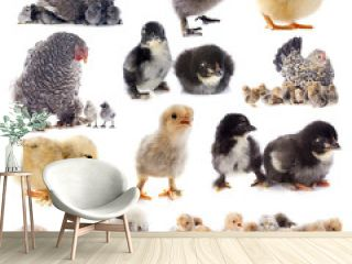 young chicks and chicken