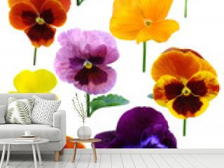 pansies Violets flowers it is isolated