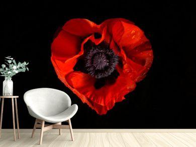 red poppy flower on a black background
