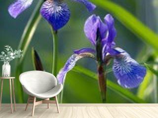 sibirische schwertlilie / iris sibirica