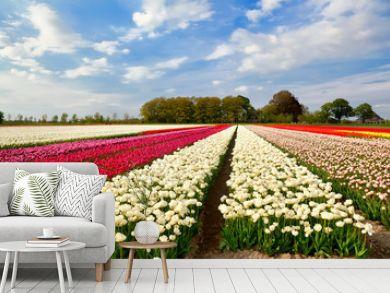 colorful tulip fields and farmhouse in Alkmaar