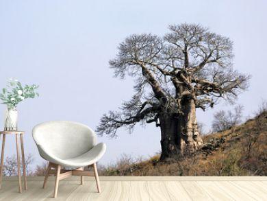 Large Baobab on a hillside