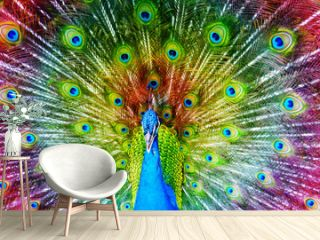 Peacock with Feathers Spread.