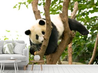 Cub of Giant panda bear playing on tree Chengdu, China