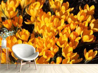 Yellow crocus flowers in sunlight