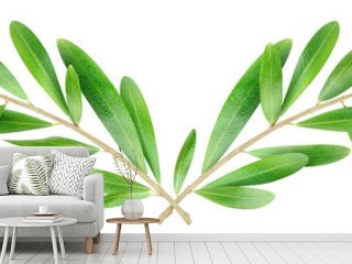 Isolated branches. Two criss-crossed olive tree branches isolated on white, with clipping path