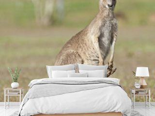 Red kangaroos outback Queensland,Australia