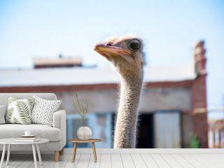 Black African ostrich