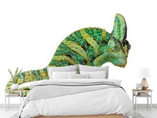 chameleon or calyptratus on white background