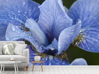 Iris bud after rain
