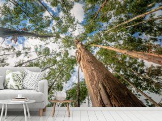 Eucalyptus tree against sky with the sun light