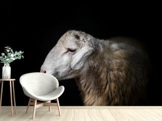 Sheep portrait on black background.