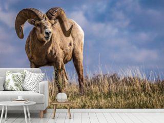 Wild Big Horn Sheep in Southern Alberta Canada