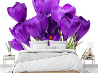 Purple crocus isolated on white