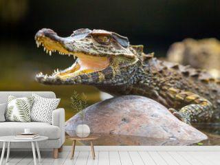 caiman amazon peru crocodile animal ecuador crocodilus small wildlife alligator brazil tiny caiman reptile absorbing heat shot in the wild in amazonian basin in ecuador