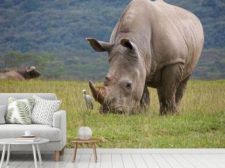 wild white rhinoceros grazing grass with cattle hegret