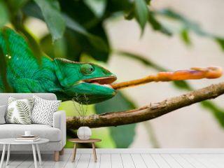 Chameleon at hunt insect. Long tongue chameleon. Madagascar. An excellent illustration. Close-up.