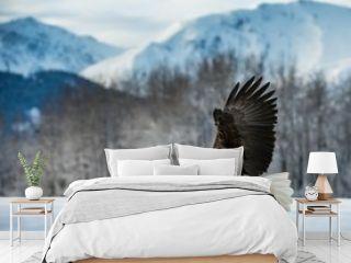 Bald Eagle ( Haliaeetus leucocephalus ) landed on snow