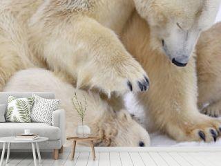 Cub of polar bear under mother protection