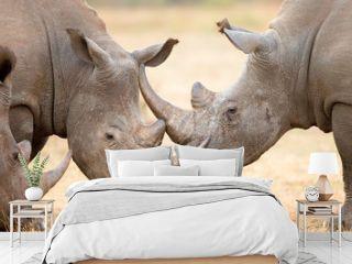 White Rhinoceros locking horns