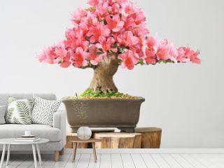 blooming bonsai azalea in spring season on exhibition